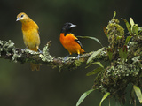Male and Female Baltimore or Northern Orioles (Icterus Galbula)  Costa Rica