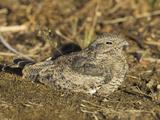 Common Nighthawk (Chordeiles Minor) in Victoria  British Columbia  Canada
