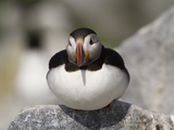 Atlantic Puffin (Fratercula Arctica) Maine  USA