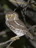 Elf Owl (Micrathene Whitneyi)  Big Bend National Park  Texas  USA