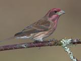 Purple Finch (Carpodacus Purpureus) Perched on a Branch in Victoria  British Columbia  Canada