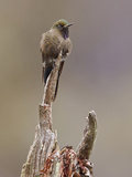 Blue-Mantled Thornbill (Chalcostigma Stanleyi) Perched on a Branch in Cajas National Park