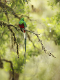 Resplendent Quetzal (Pharomachrus Mocinno)  Costa Rica
