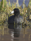 American Coot (Fulica Americana) on a Pond in Victoria  British Columbia  Canada