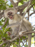 Vervet or Green Monkey (Cercopithecus Aethiops)  South Africa