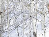 Mountain Lion (Puma Concolor) in a Snowy Quaking Aspen Grove (Populus Tremuloides)