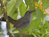 Grey Catbird  Costa Rica