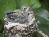 Anna's Hummingibrd (Calypte Anna) Chicks are Almost Too Big to Fit in the Tiny Nest  Irvine