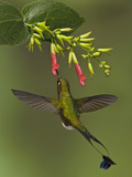 A Male Booted Racket-Tail Hummingbird (Ocreatus Underwoodii) Flying and Feeding