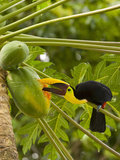 Chestnut-Mandibled Toucan Eating Papaya Fruits (Ramphastos Swainsonii)  Costa Rica