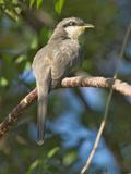 Mangrove Cuckoo  Costa Rica