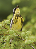 Magnolia Warbler (Dendroica Magnolia) Perched on a Spruce Branch and Singing  Ontario Canada
