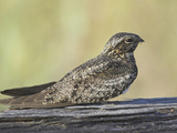 Common Nighthawk (Chordeiles Minor)  Victoria  British Columbia  Canada