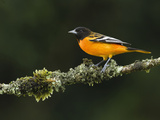 Male Baltimore or Northern Oriole (Icterus Galbula)  Costa Rica