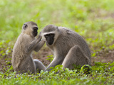 Vervet or Green Monkeys Grooming (Cercopithecus Aethiops)  South Africa