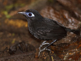 Immaculate Antbird (Myrmeciza Immaculata) Perched on a Branch  Tandayapa Valley  Ecuador