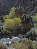 California Fan Palms and Cottonwoods  Guadalupe Canyon  Baja California  Mexico