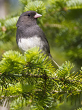 Dark-Eyed Junco (Junco Hyemalis)  New Hampshire  USA