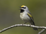 Golden-Winged Warbler (Vermivora Chrysoptera) Singing on a Branch  Ontario  Canada