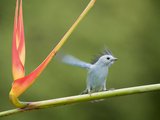 Blue-Gray Tanager Alights on a Heliconia Stem (Thraupis Episcopus)  Costa Rica