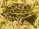 Northern Leopard Frog (Rana Pipiens)