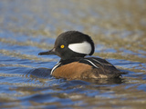 Hooded Merganser (Lophodytes Cucullatus) Swimming on a Pond in Victoria  British Columbia  Canada