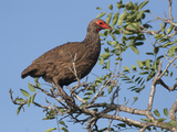 Swainson's Spurfowl or Francolin (Pternistis Swainsonii)  South Africa