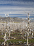 Frost Covered Pear Orchard in Winter  Oregon