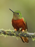 Chestnut-Breasted Coronet (Boissonneaua Matthewsii) Perched on a Branch  Tapichalaca Reserve