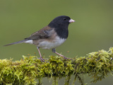 Dark-Eyed Junco (Junco Hyemalis) Perched on a Mossy Branch in Victoria  British Columbia  Canada