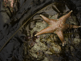 Leather Star (Dermasterias Imbricata) in a Tide Pool  Enderts Beach  Redwood National Park