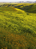 Spring Wildflowers in Lost Hills  California  USA