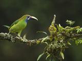 Emerald Toucanet (Aulacorhynchus Prasinus)  Costa Rica