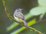 Slaty-Capped Flycatcher Perched on a Branch at Buenaventura  Southwest Ecuador