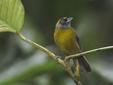 Dusky-Faced Tanager (Mitrospingus Cassinii) Perched on a Branch at the Rio Palenque Reserve
