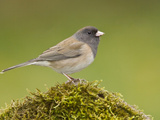 Dark Eyed Junco (Junco Hyemalis) Perched on a Branch in Victoria  British Columbia  Canada