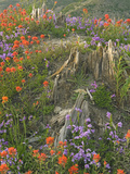 Penstemon and Indian Paintbrush Wildflowers