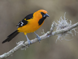 Altamira Oriole (Icterus Gularis) Perched on a Branch in South Texas  USA