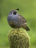California Quail (Callipepla Californica) Perched on a Mossy Tree Stump in Victoria