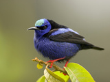 Red-Legged Honeycreeper (Cyanerpes Cyaneus)  Costa Rica