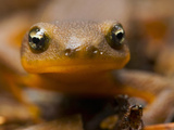 A Rough-Skinned Newt (Taricha Granulosa) on the Ground in the Spring  Oregon  USA