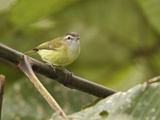 Brown-Capped Vireo (Vireo Leucophrys) Perched on a Branch  Tandayapa Valley  Ecuador