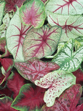 Caladium Leaves Showing Variegation and Venation