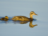 Mallard with a Chick (Anas Platyrhynchos) Swimming in the Ocean in Victoria  British Columbia