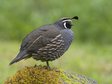 California Quail (Callipepla Californica) Perched on a Mossy Rock in Victoria  British Columbia