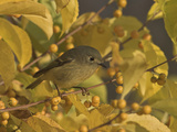 Ruby-Crowned Kinglet (Regulus Calendula) Perched in Fall-Colored Foliage  Toronto  Ontario  Canada