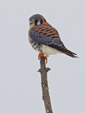 American Kestrel (Falco Sparverius) Perched on a Branch  Ontario  Canada