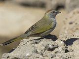 Green-Tailed Towhee (Pipilo Chlorurus) in Oregon  USA