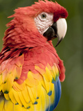 Scarlet Macaw (Ara Macao)  Costa Rica