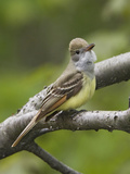 Great-Crested Flycatcher (Myiarchus Crinitus)  Ontario  Canada